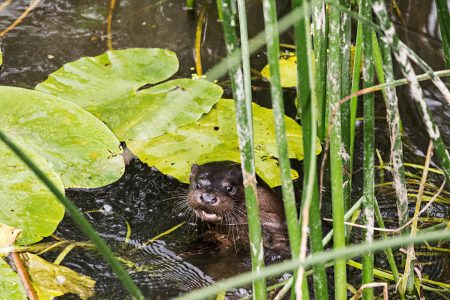 Otter_05