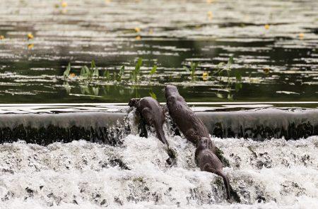 Otter_09