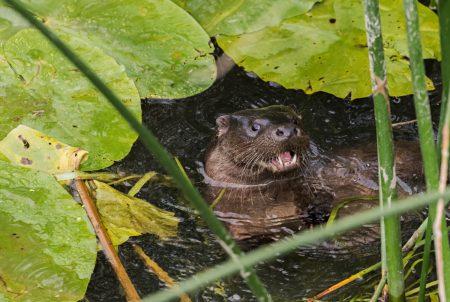 Otter_11