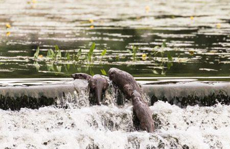 Otters-weir2