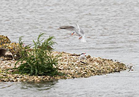 Common Terns nesting