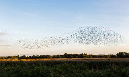 starlings-2