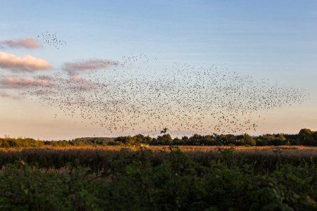 starlings-3