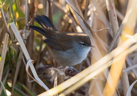 cettis-warbler-1