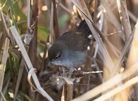 cettis-warbler-3