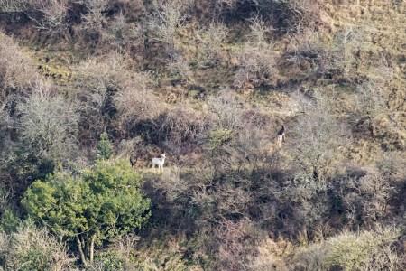 White Fallow Stag