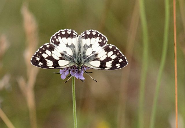 Marbled White on Field Scabious