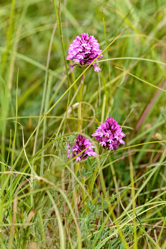 Pyramidal Orchids