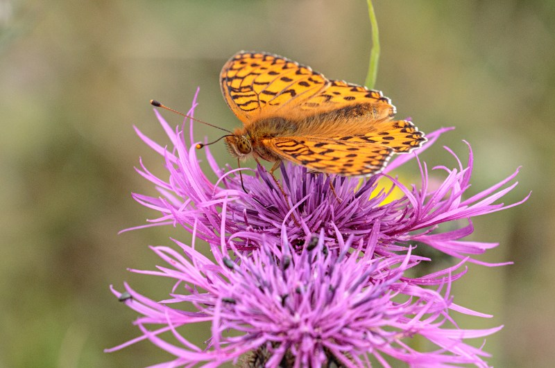 Silver Washed Fritillary on Knapweed