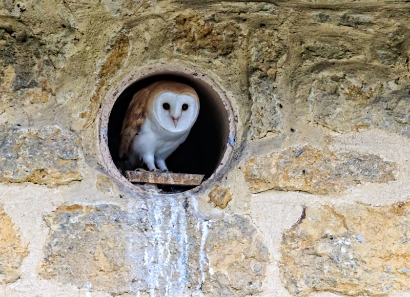 Fledgling Barn Owl