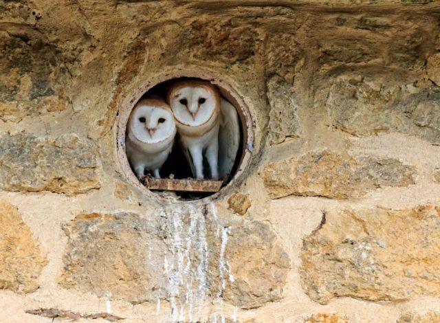 Two Barn Owl fledglings