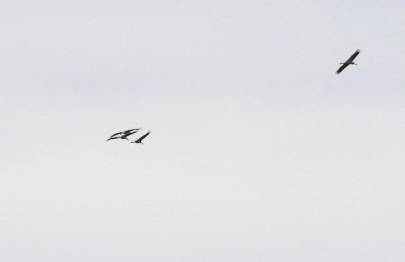 Distant view of Cranes