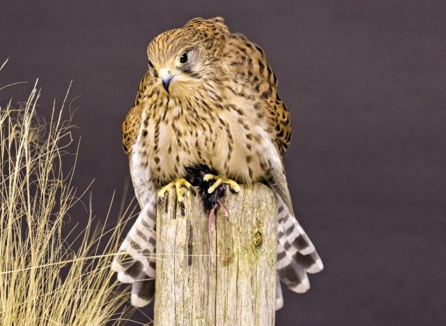 Kestrel - ISO 3200 F6.3 1/40sec 70-300mm lens at 160mm