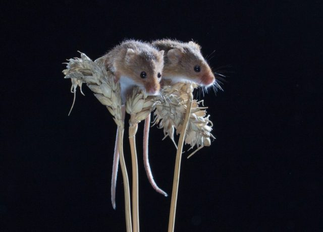 Harvest Mice - Studio Flash ISO 200 F16 1/200sec 24-105mm lens at 100mm