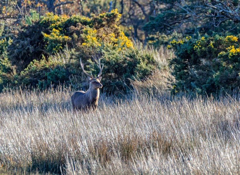 Sika stag on the marsh
