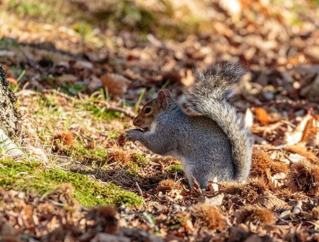 Great Squirrel eating Sweet Chestnuts