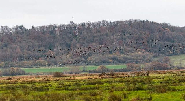 Canada geese with Lapwings below.