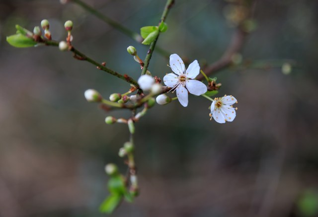 Blackthorn in early February.