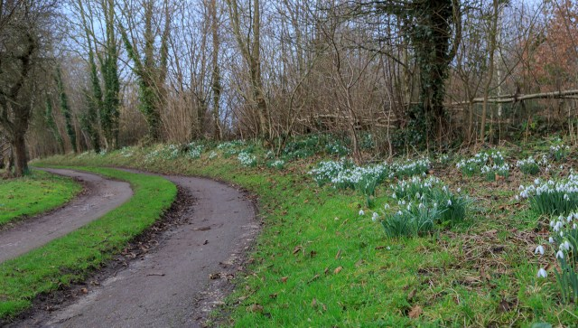 Snowdrops everywhere!