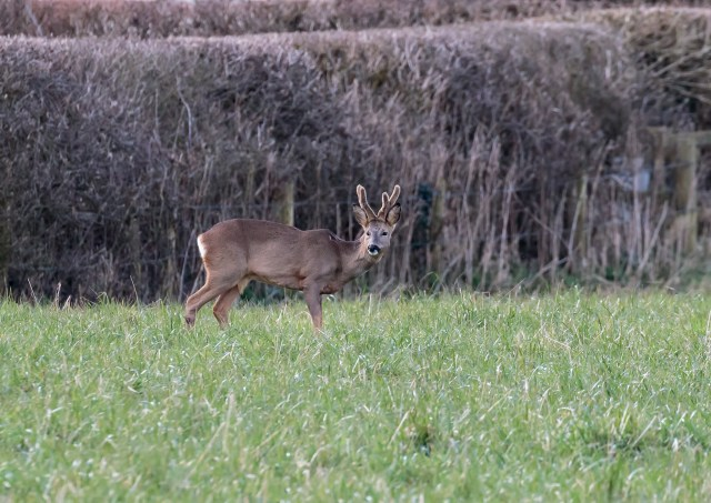 Roe Buck in velvet.