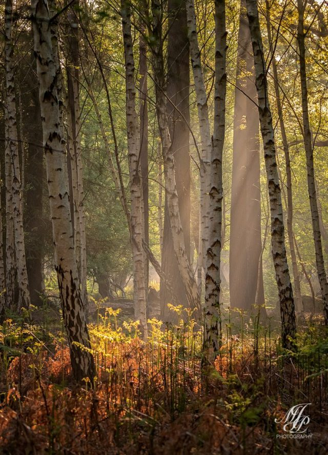 Sunlight through the Birch trees