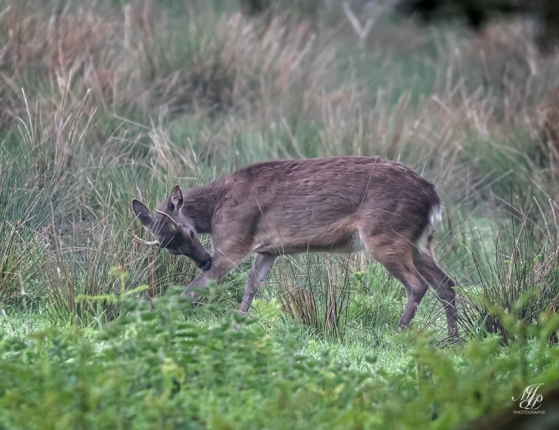 Young Sika pricket
