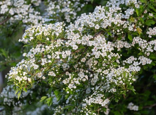Hawthorn, May Blossom
