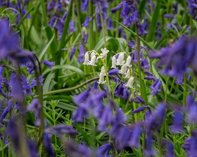 Whitebell in the middle of the Bluebells!