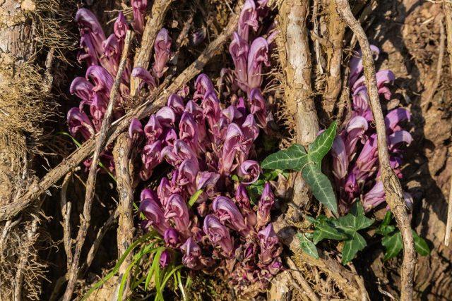 Purple toothwort - Lathraea clandestina