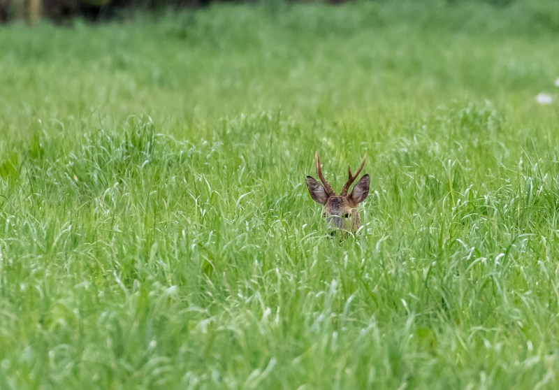 Roe Buck relaxed in the field behind our house.