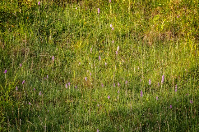 Bank of Common Spotted Orchids