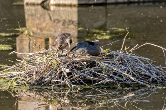 Coots on a nest