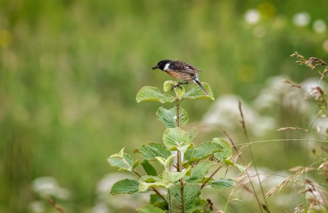 Male Stonechat with flies