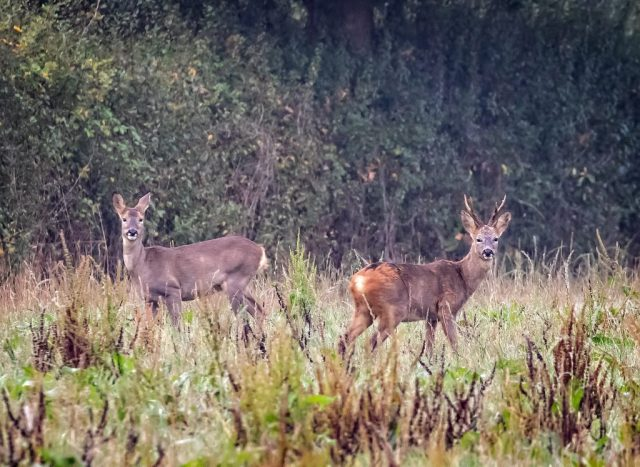 Roe buck and doe