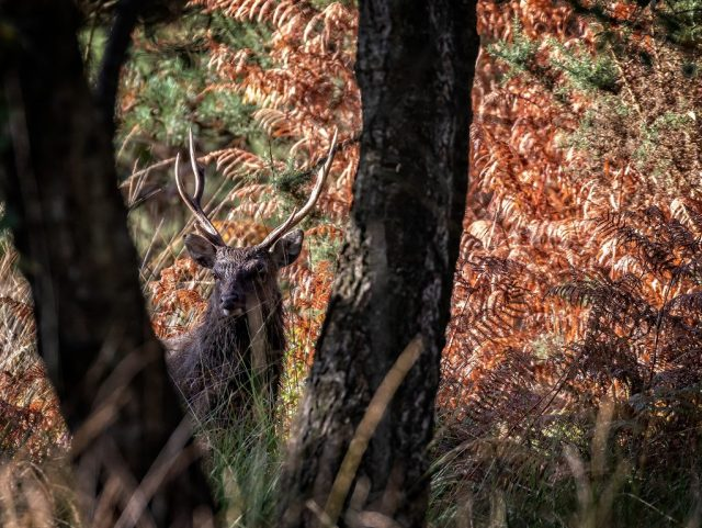 Sika Stag in the woods