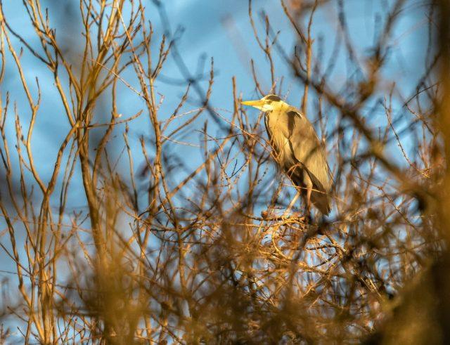 Heron in the Heronry