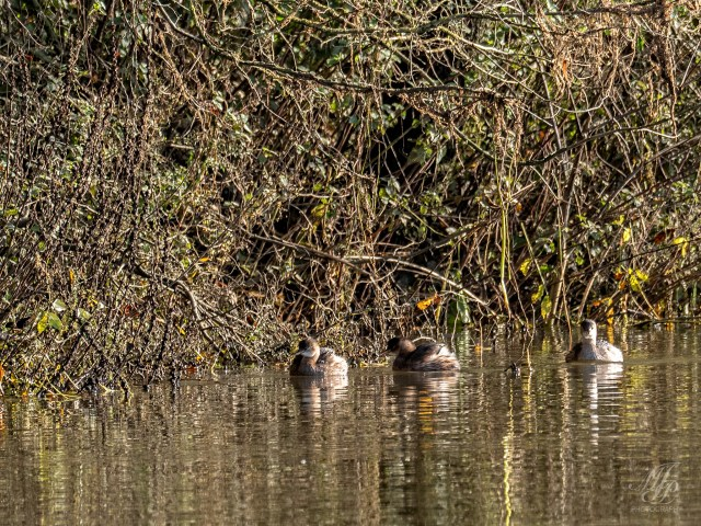 Family of Little Grebes