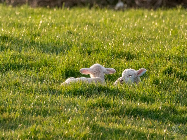 Just some Lambs