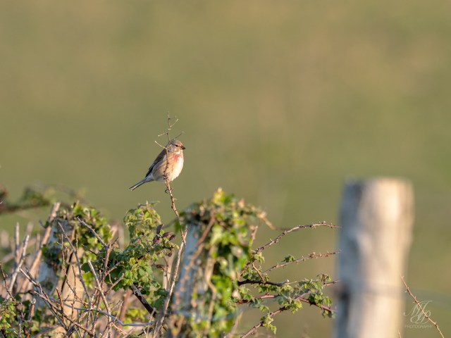 Linnet, male