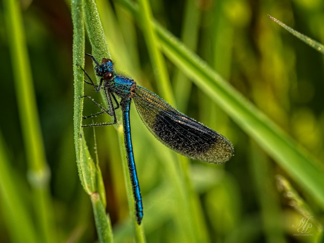 Banded Demoiselle covered in dew