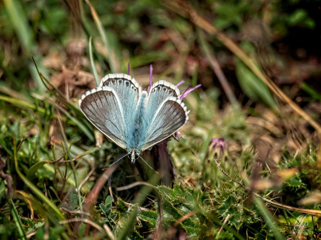 Chalk Hill blue