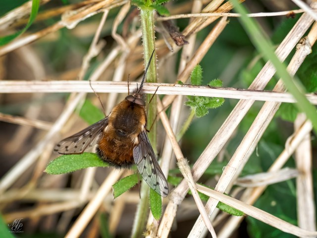 Dotted Bee Fly, Bombylius major