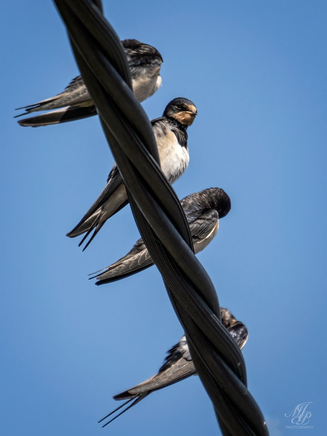 Swallows the wires