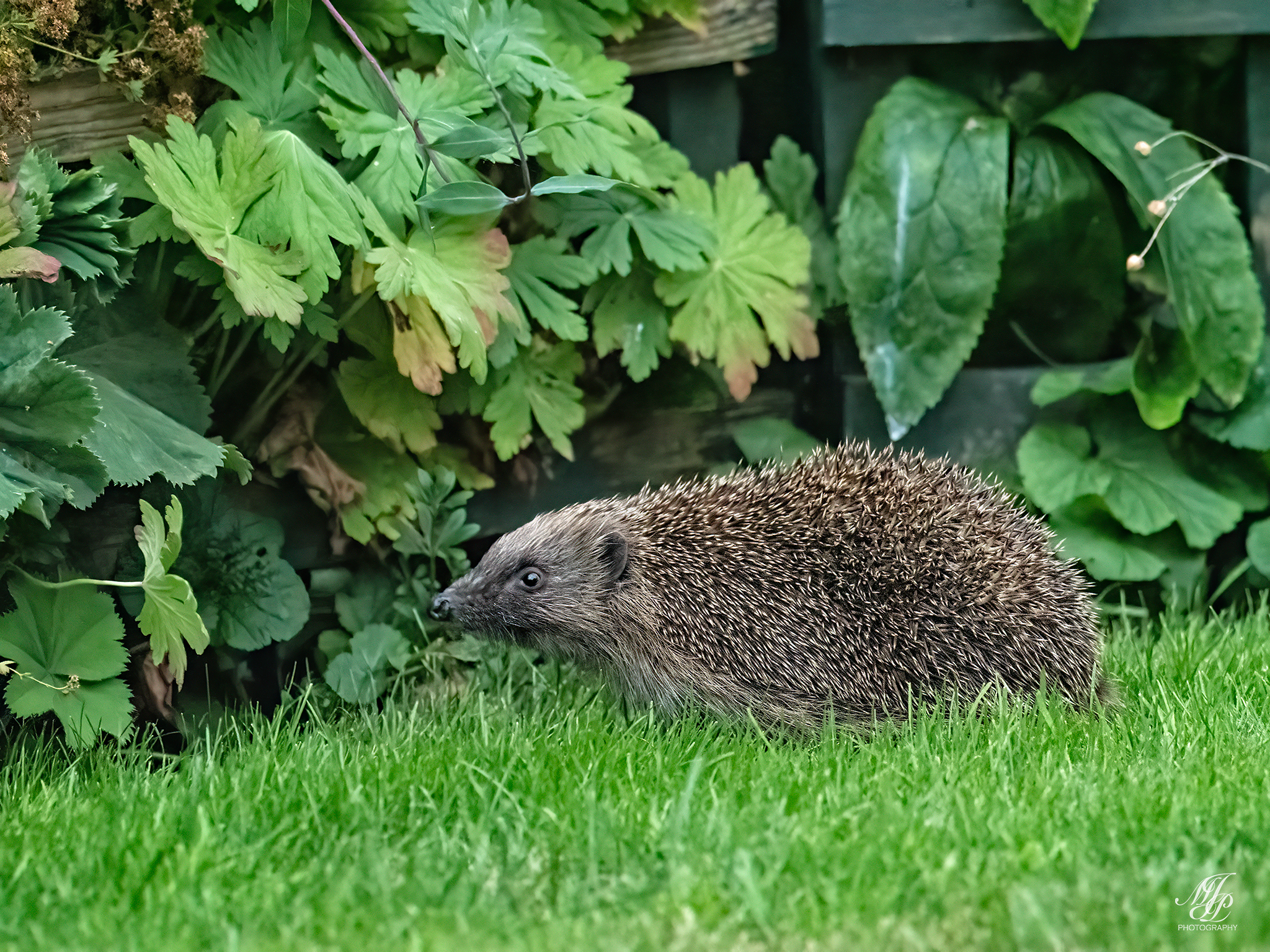 """Hedgehogs and other """"family"""""""