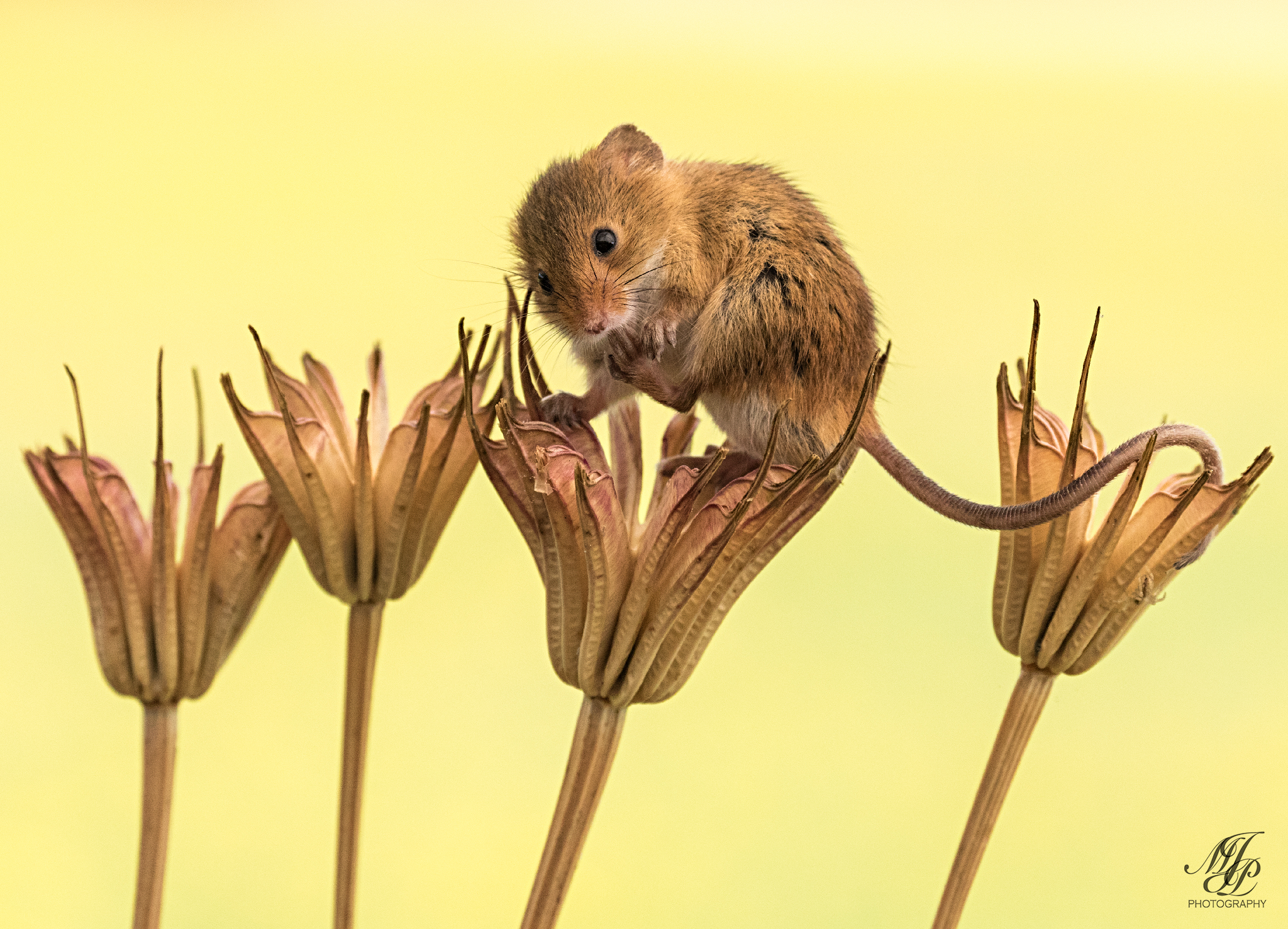 Harvest mice workshop