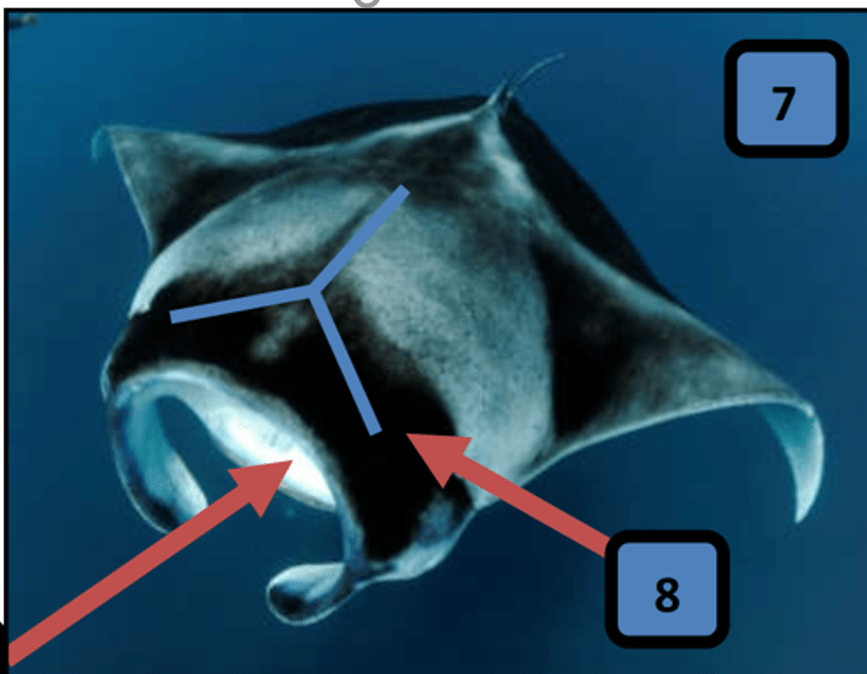 Reef Manta Ray ( Mobula alfredi)  - Mantas in Fiji