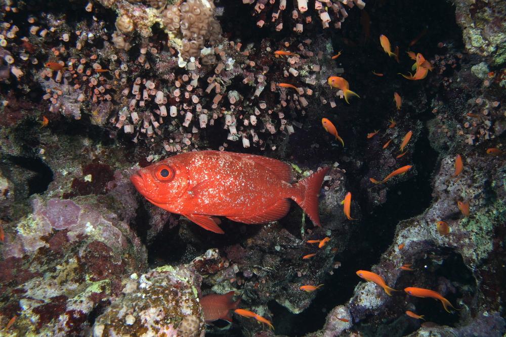 squirrelfish tongan big eye