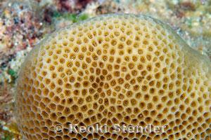 Solid Coral Porites solida