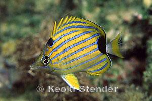 Bluestriped Butterflyfish Chaetodon fremblii