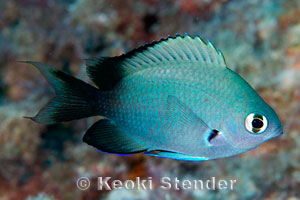 Threespot Chromis Chromis verater